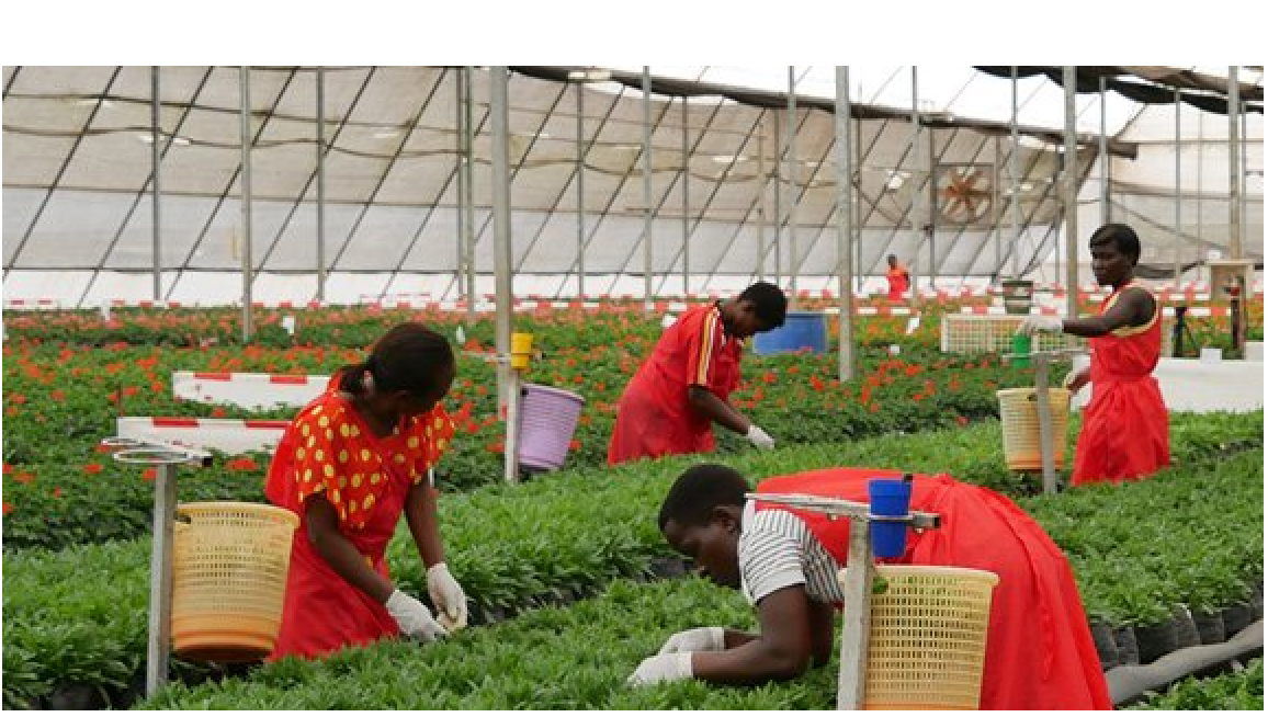 Uganda: Flower exports recover, increase by 30 per cent